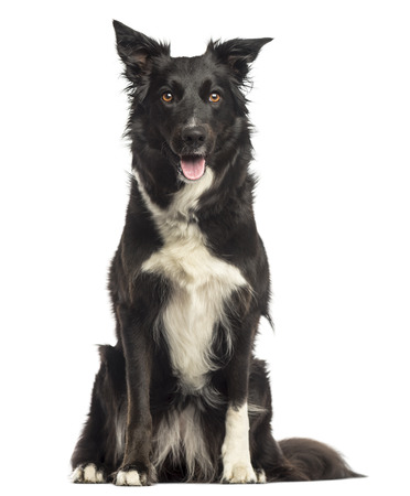border collie: Border collie panting, sitting, isolated on white