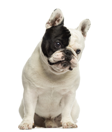 French bulldog sitting, looking at the camera, isolated on white photo