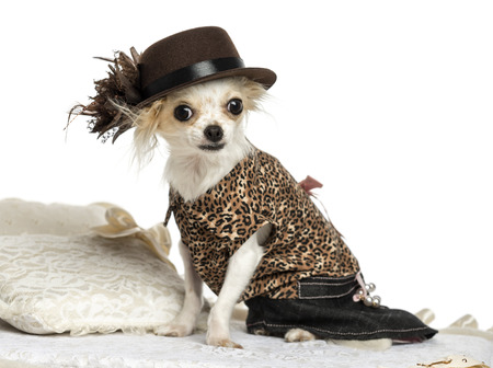 Dressed-up Chihuahua sitting on a carpet, isolated on white photo