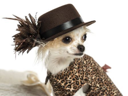 Close-up of a Chihuahua wearing a hat, isolated on white photo