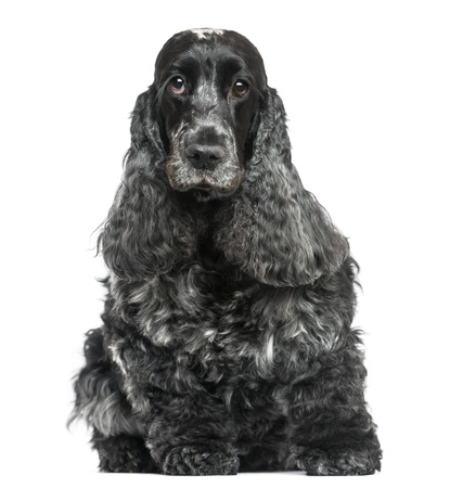 English Cocker Spaniel, sitting, facing, isolated on white photo