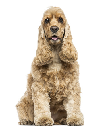 English Cocker Spaniel sitting, panting, isolated on white photo