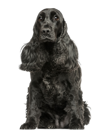 English Cocker Spaniel sitting, isolated on white photo