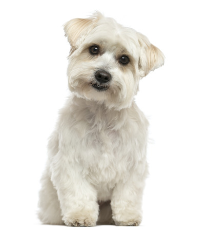 Front view of a Maltese sitting, looking at the camera, isolated on white photo