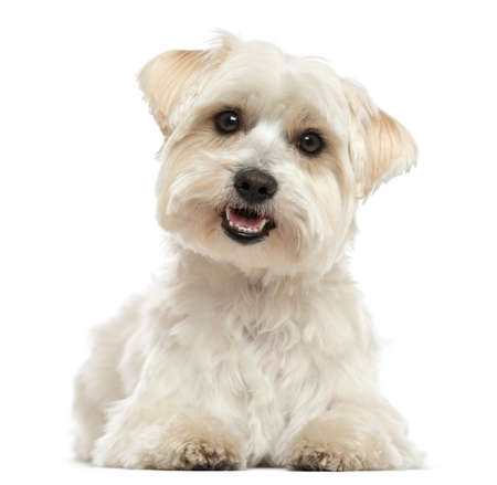 white maltese: Maltese, lying down, panting, looking at the camera, isolated on white