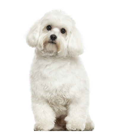 white maltese: Maltese sitting, looking at the camera, isolated on white Stock Photo