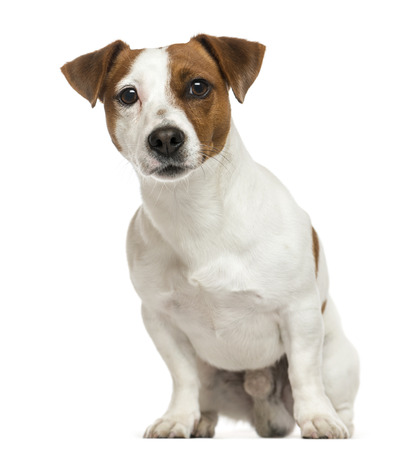 Front view of a Jack Russell Terrier, sitting, isolated on white Stock Photo