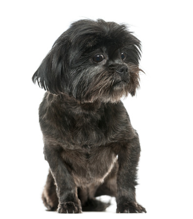Lhasa Apso sitting, isolated on white photo