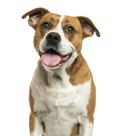 panting: Close-up of an American Bulldog panting, isolated on white Stock Photo