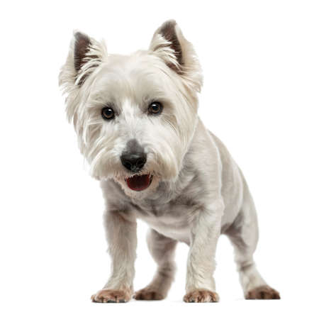 Front view of a West Highland White Terrier looking at the camera, isolated on white photo