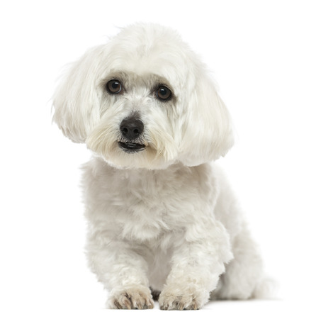 white maltese: Front view of a Maltese lying down, isolated on white