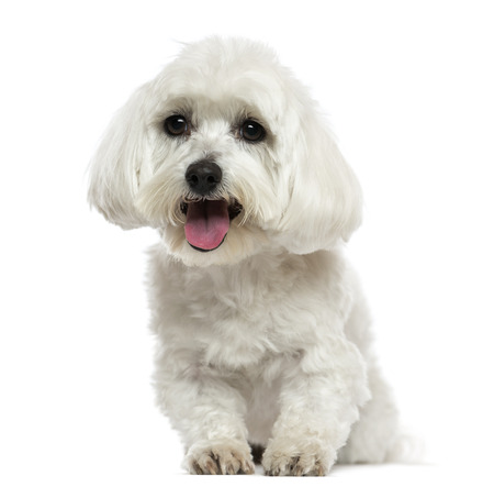 white maltese: Front view of a Maltese panting, isolated on white Stock Photo