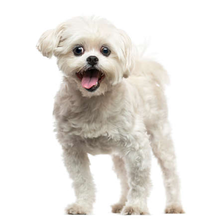panting: Front view of a Lhasa Apso panting, isolated on white Stock Photo