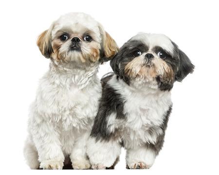 shih: Two Shih Tzus sitting next to each other, looking at the camera, isolated on white