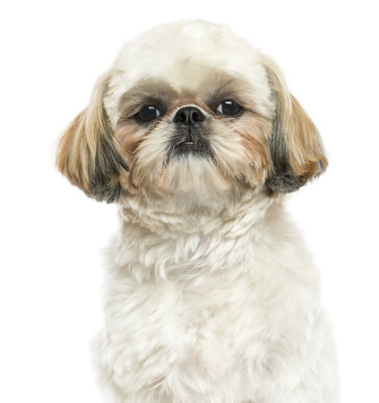 Close-up of a Shih Tzu looking at the camera, isolated on white photo