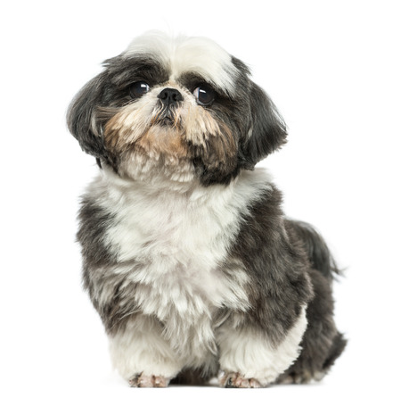 Shi tzu sitting, looking at the camera, isolated on white photo