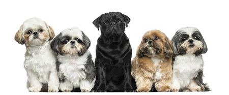 shih: Front view of Dogs in a row, sitting, isolated on white