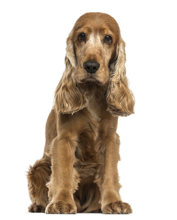 english cocker spaniel: English Cocker Spaniel sitting, looking at the camera, isolated on white Stock Photo