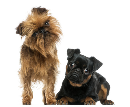 griffon: Two Griffon Bruxellois with interrogative look, isolated on white Stock Photo
