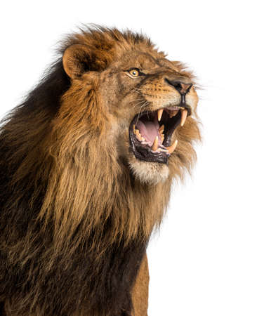 Close-up of a Lion roaring, Panthera Leo, 10 years old, isolated on white photo