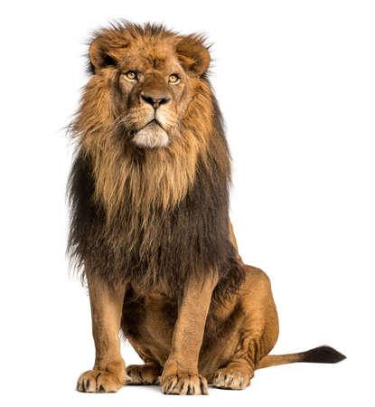 Лев сидит, глядя в сторону, Panthera Leo, 10 лет, изолированные на белом