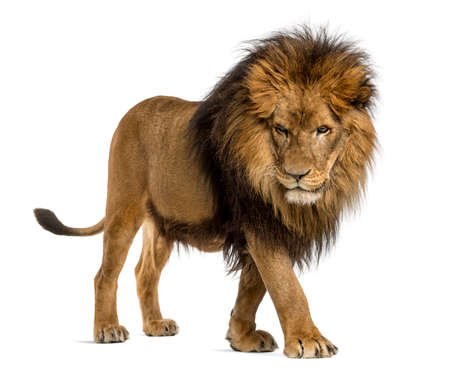 Side view of a Lion walking, looking down, Panthera Leo, 10 years old, isolated on white photo