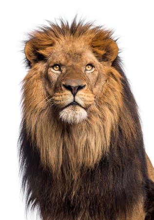 panthera leo: Primer plano de un le�n mirando hacia arriba, Panthera Leo, 10 a�os de edad, aislado en blanco