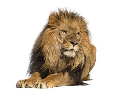 panthera leo: Le�n acostado, mirando a otro lado, Panthera Leo, 10 a�os de edad, aislado en blanco