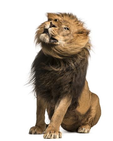panthera leo: Lion sitting, shaking, Panthera Leo, 10 years old, isolated on white