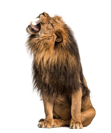 panthera leo: Le�n que ruge, sentado, Panthera Leo, 10 a�os de edad, aislado en blanco