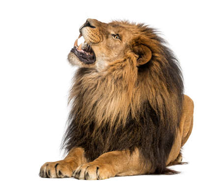 roar: Lion lying, roaring, Panthera Leo, 10 years old, isolated on white
