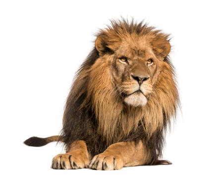 panthera leo: Vista frontal de un le�n acostado, Panthera Leo, 10 a�os de edad, aislado en blanco Foto de archivo
