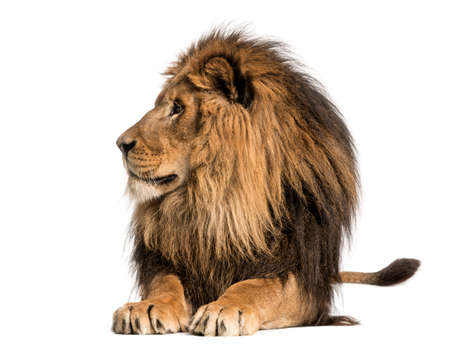 lying down: Lion lying, looking away, Panthera Leo, 10 years old, isolated on white