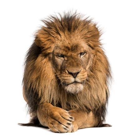 leones: Vista frontal de un le�n acostado, cruzando las patas, Panthera Leo, 10 a�os de edad, aislado en blanco Foto de archivo