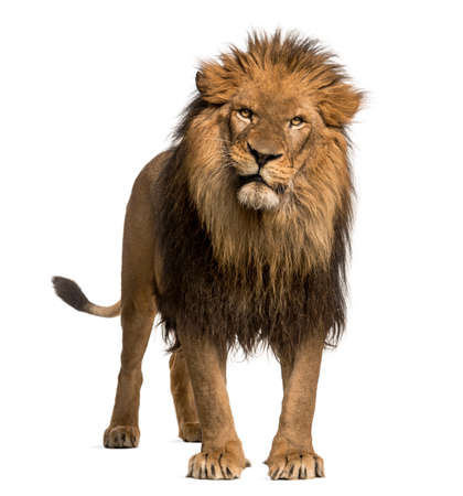 Lion standing, looking at the camera, Panthera Leo, 10 years old, isolated on white Stock Photo
