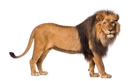lions: Vista lateral de un le�n de pie, mirando a la c�mara, Panthera Leo, 10 a�os de edad, aislado en blanco
