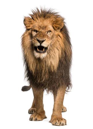 panthera: Vista frontale di un leone ruggente, in piedi, Panthera Leo, 10 anni, isolato su bianco