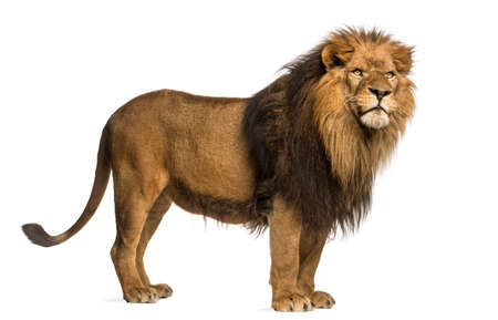 Side view of a Lion standing, Panthera Leo, 10 years old, isolated on white Stock Photo