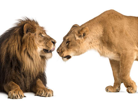female lion: Lion and lioness sniffing each other, Panthera leo, isolated on white