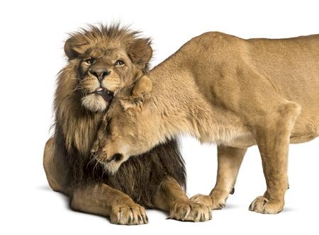 amigos abrazandose: León y abrazos leona, Panthera leo, aislado en blanco