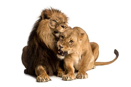 amigos abrazandose: León y leona caricias, la mentira, Panthera leo, aislado en blanco