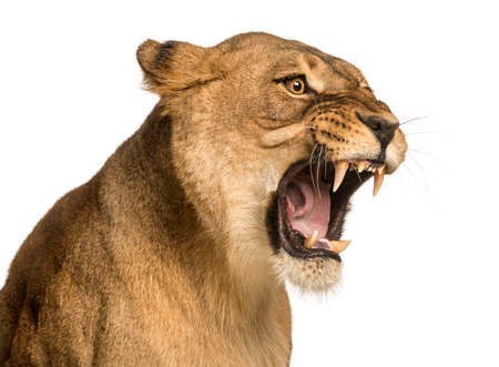 Close-up of a Lioness roaring, Panthera leo, 10 years old, isolated on white photo