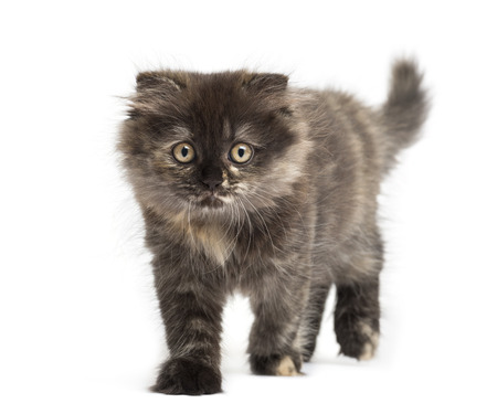 Front view of an Highland fold kitten walking, isolated on white photo
