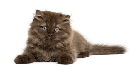 Front view of an Highland fold kitten lying, isolated on white photo