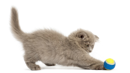 Side view of an Highland fold kitten playing with a ball, isolated on white photo