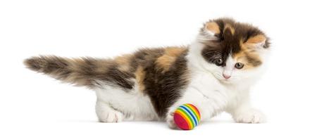 gato jugando: Vista lateral de un gatito recto Higland jugando con una pelota, aislado en blanco