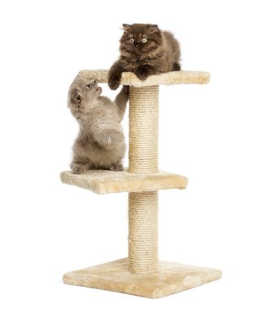 gato jugando: Highland pliegan gatitos que juegan en un árbol del gato, aislado en blanco