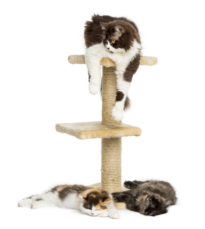 Cats lying around and on a cat tree, isolated on white photo