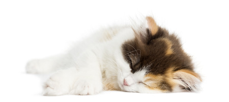 Higland straight kitten lying down, sleeping, isolated on white photo