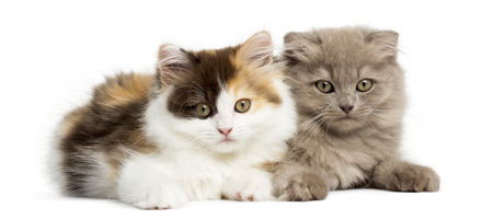 Higland straight and fold kittens lying together, looking at the camera, isolated on white photo
